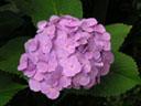 アジサイ〔紫陽花〕の花