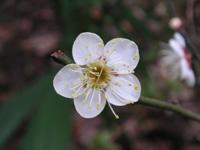 写真「ウメ〔梅〕の花」